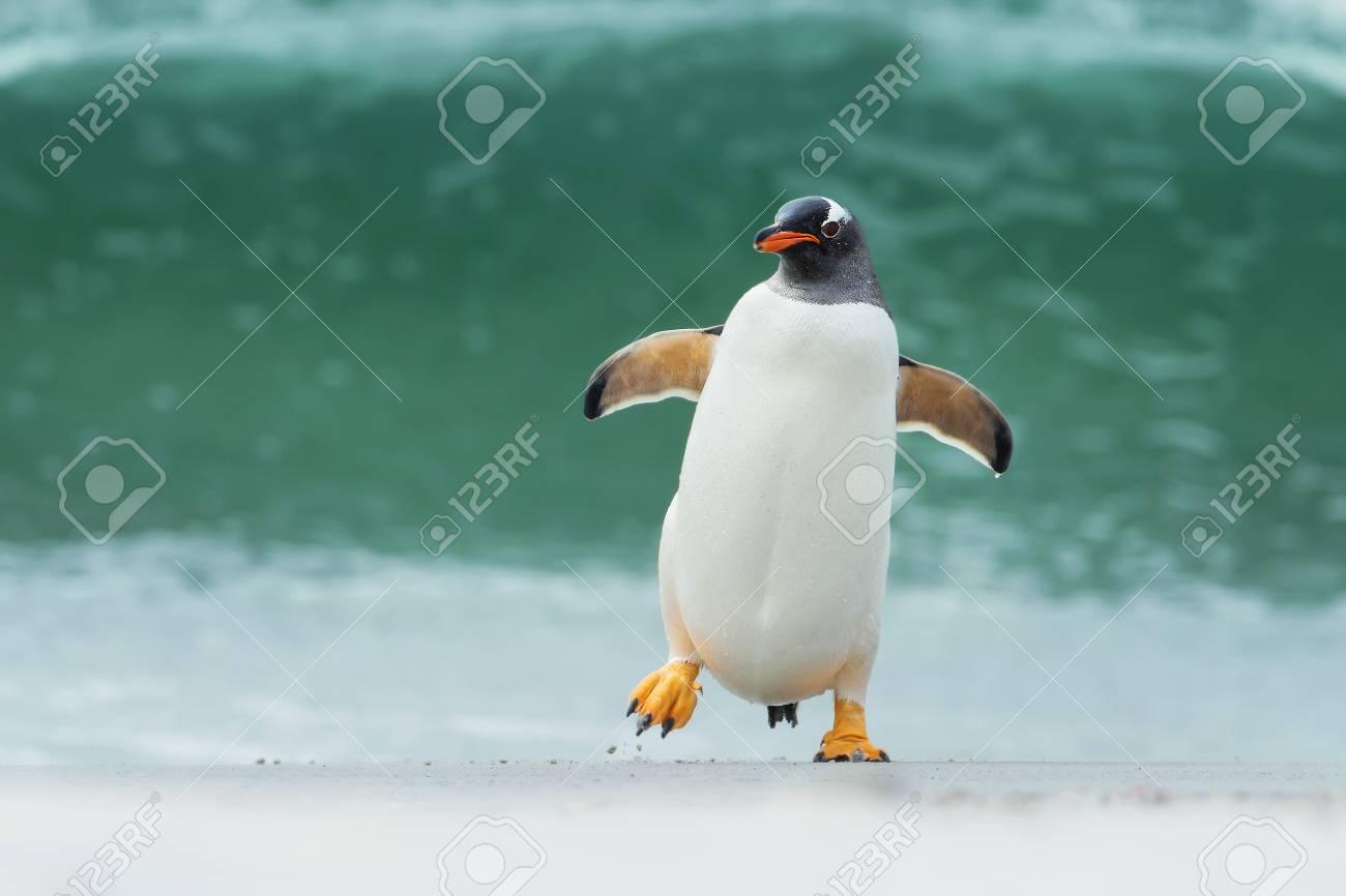 Gentoo penguin coming ashore through big waves, Falkland Islands. - 92707125