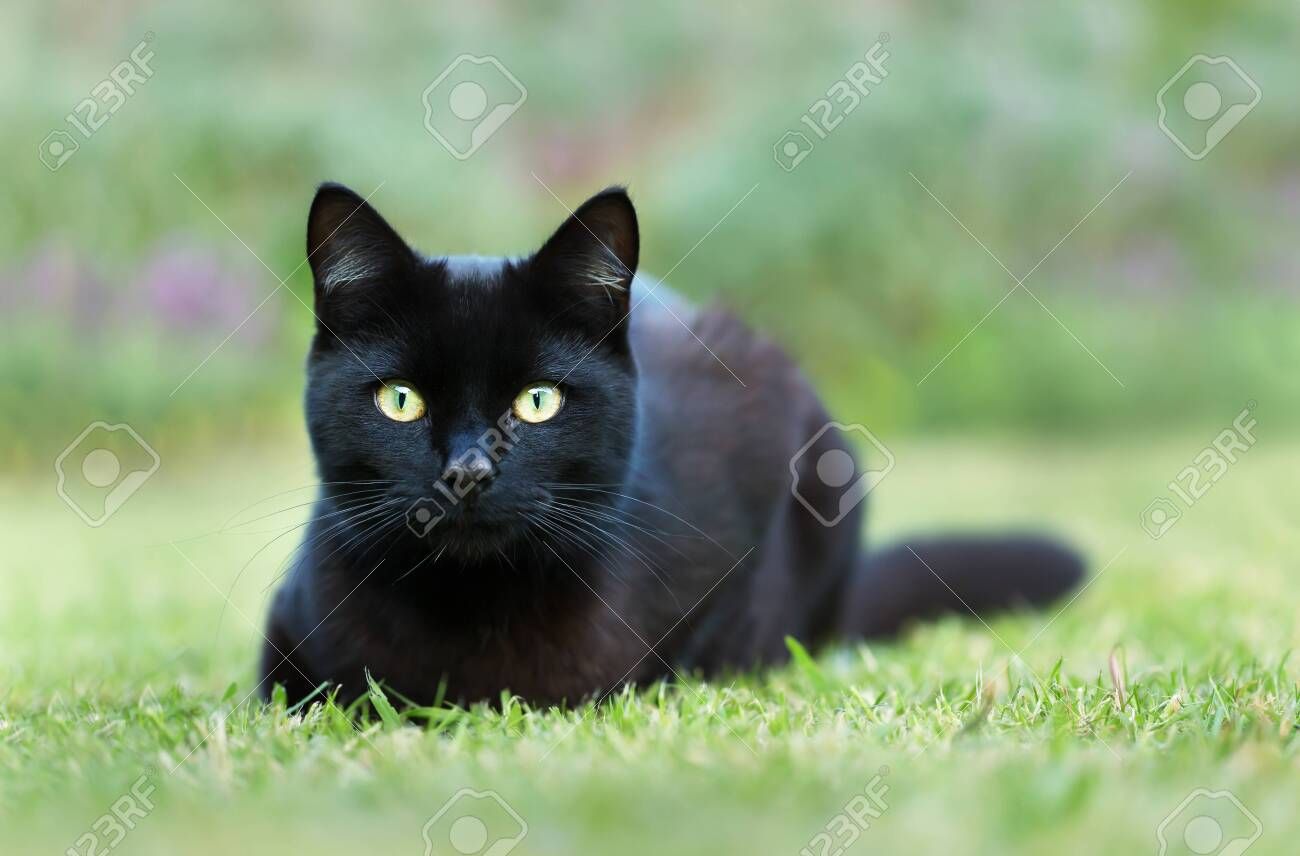 Close up of a black cat lying on grass in the garden, UK. - 123675400