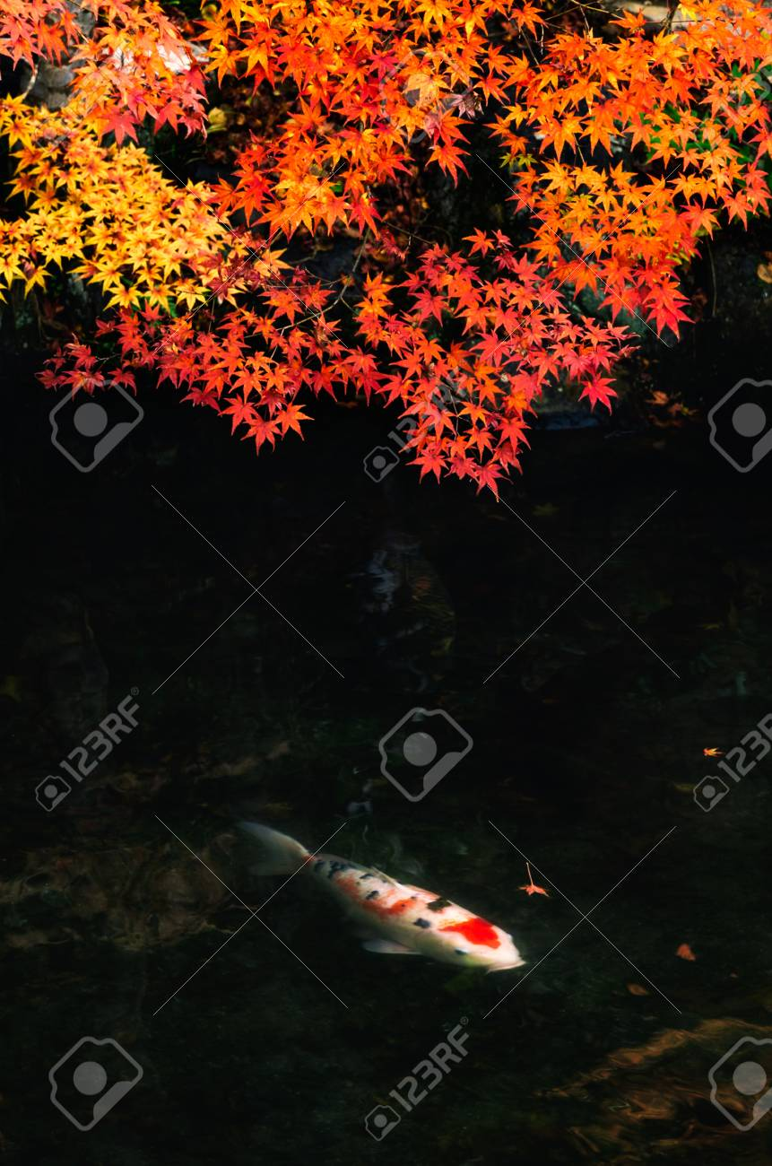 Soft Focus Image Of Beautiful Colorful Red, Yellow, Orange Maple ...