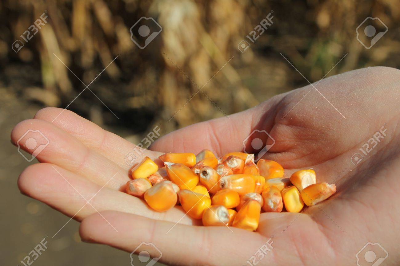 Hand of a woman holding corn in a field Stock Photo - 16006920