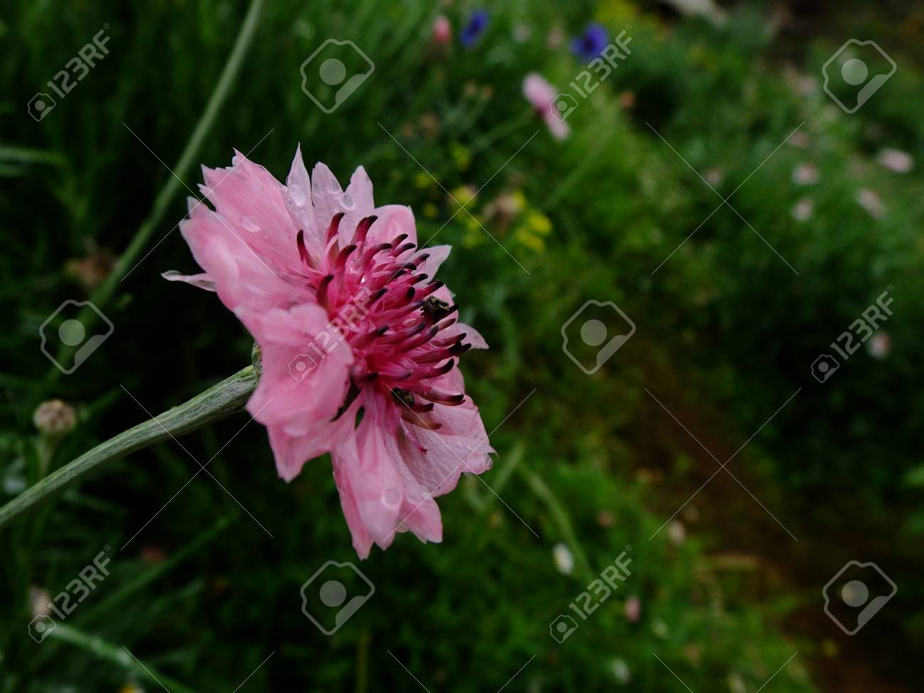 Abstract Blur Of Little Pink Flowers And Blur Background Sweet