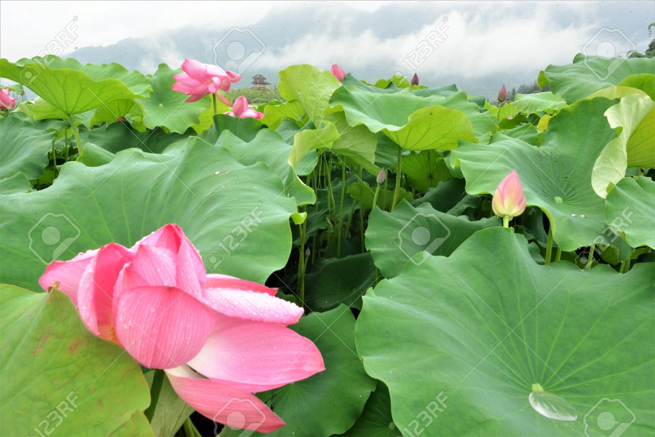 Lotus Flower Is A Sign For Love And Passion In China Stock Photo