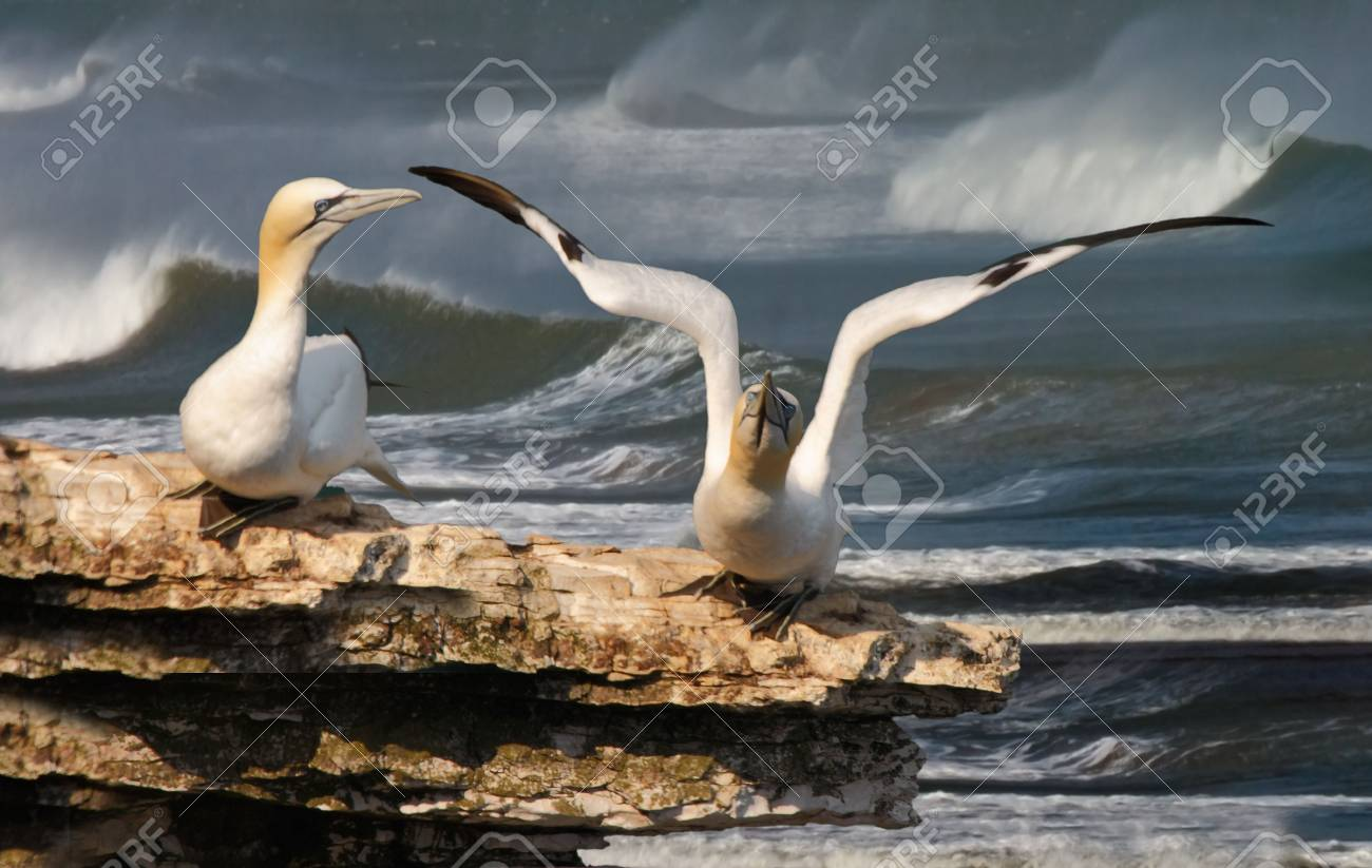 A female Northern gannet warches as her mate prepares to take off. Stock Photo - 7238351