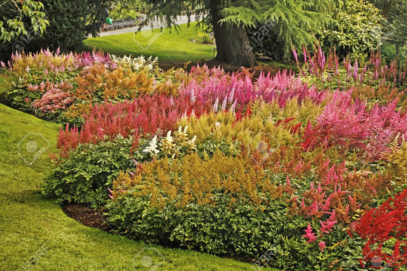 This fine display of Astilbe plants is at Holehead Garden near Windermere, the home of the Lakeland Horticultural Society. Stock Photo - 20563093