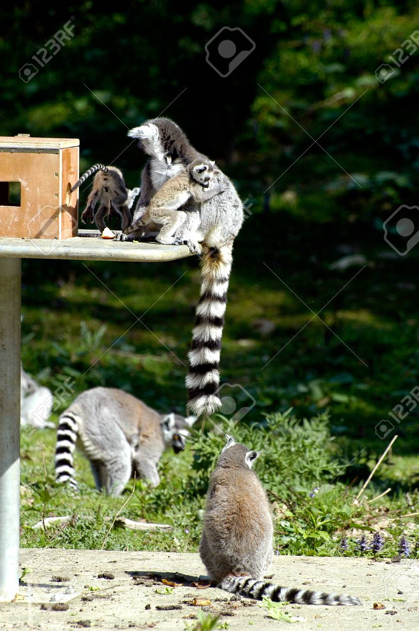 Family of lemurs to the zoo Stock Photo - 11339955