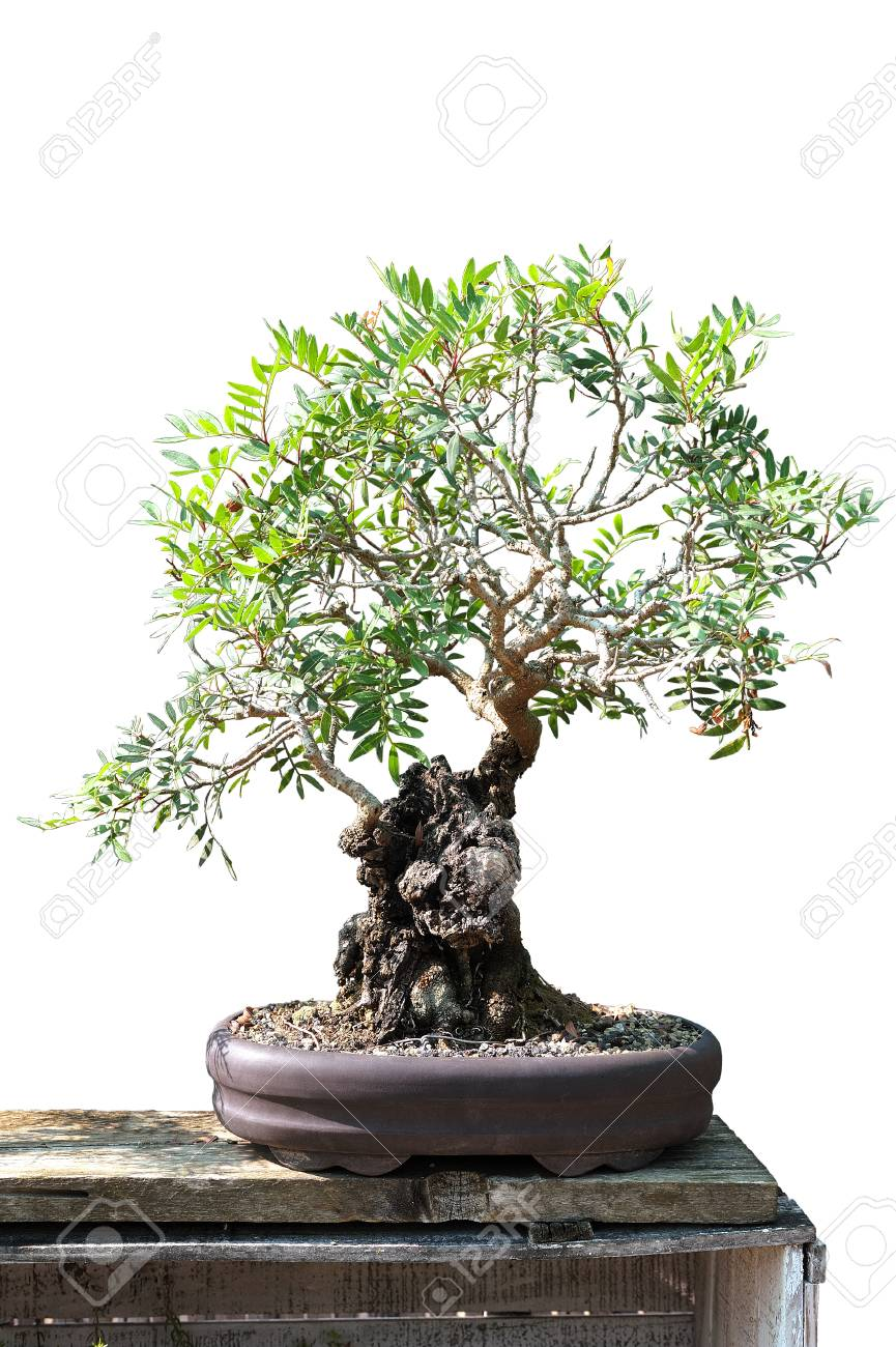 Bonsai Of A Olive Tree In Pot And Completely Cut Out On White Stock Photo Picture And Royalty Free Image Image 95725714