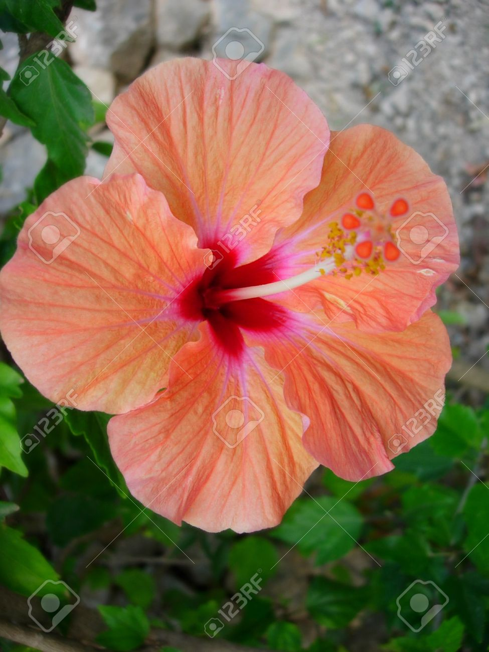 A traditional spanish flower the hibiscus on full display in stock a traditional spanish flower the hibiscus on full display in a mediterranean garden stock photo izmirmasajfo