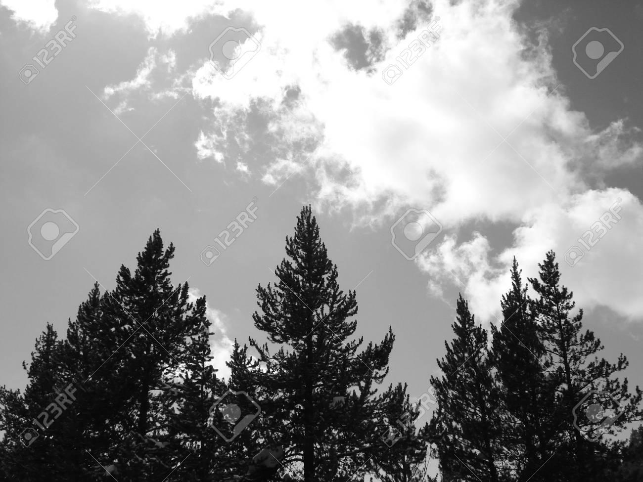 Three Pine Trees Stock Photo - 3744266