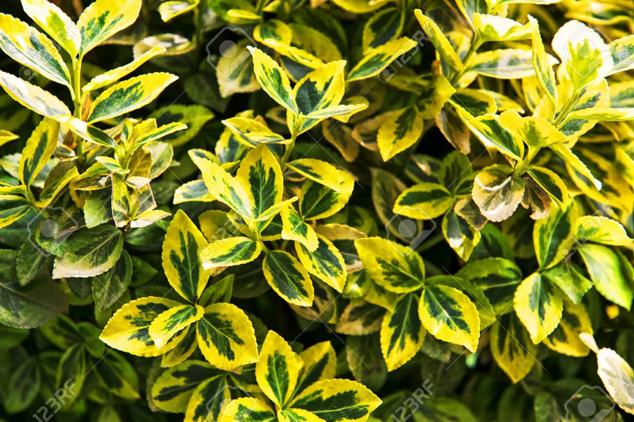 Fortunes Spindle Euonymus Fortunei Yellow And Green Leaves