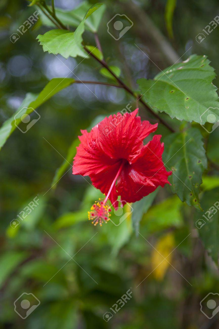 Very Beautiful Hibiscus Flower In A Sri Lankan Garden, Luminous ...