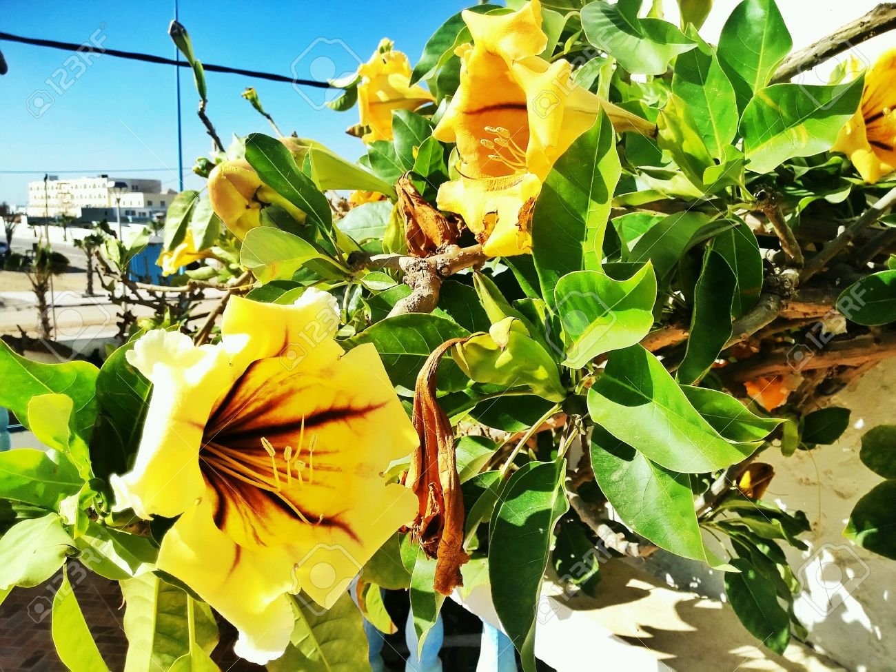 Yellow trumpet flower bush ornamental plants of morocco yellow stock photo yellow trumpet flower bush ornamental plants of morocco yellow blossomed mightylinksfo
