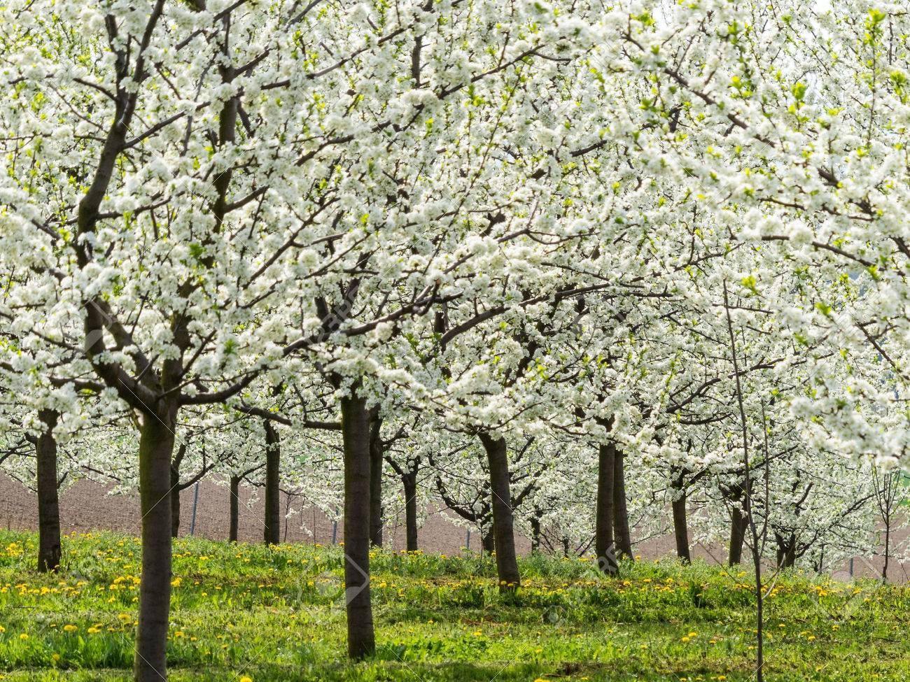 Foto Di Alberi Da Frutto molti alberi da frutto in fiore in primavera. albero di fioritura in  primavera è una bella stagione.