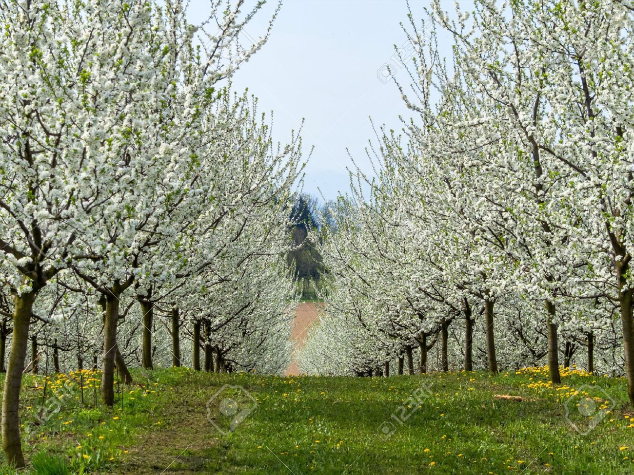 many flowering fruit trees in spring. tree bloomed in the spring is a beautiful time of year. Stock Photo - 53973574
