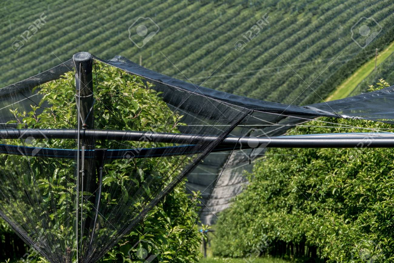 About Plantations Of Fruit Nets Was Hung Against Storms And Hail