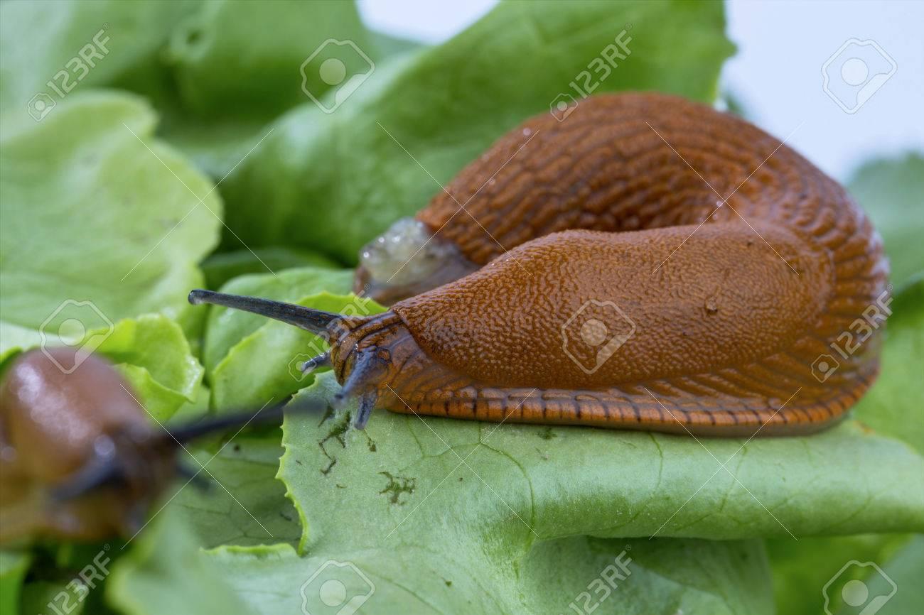 A Slug In The Garden Eating A Lettuce Leaf. Snail Invasion In ...