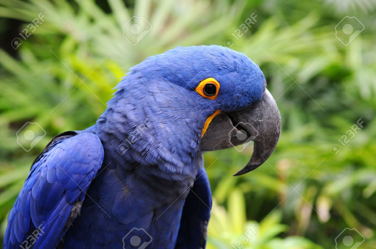 blue hyacinth macaw parrot in its natural environment stock photo