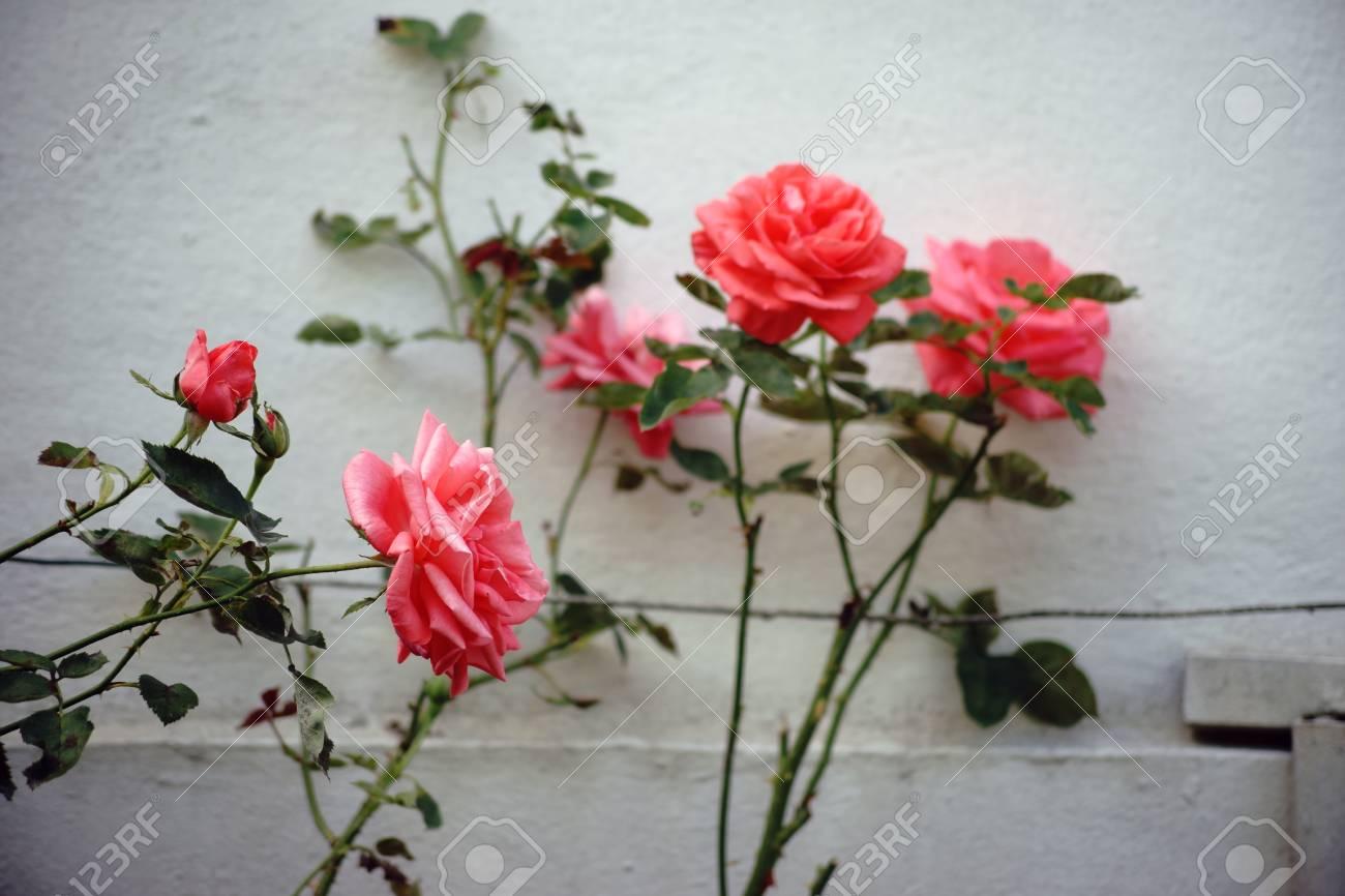 Klettergerüst Rosen : Die nahaufnahme einer einzigen rose auf einem klettergerüst aus