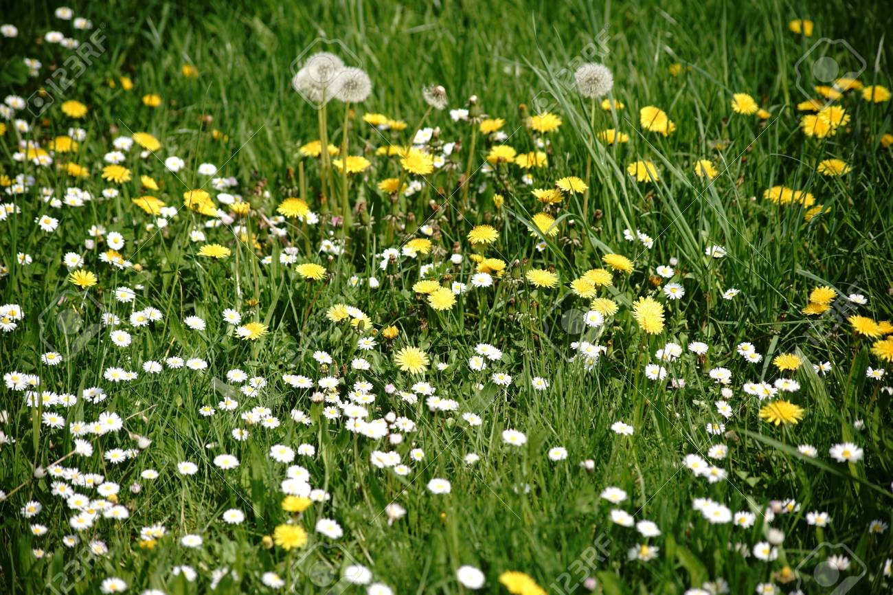 A wild meadow with different flowers like dandelions and daisies a wild meadow with different flowers like dandelions and daisies stock photo 103230192 izmirmasajfo