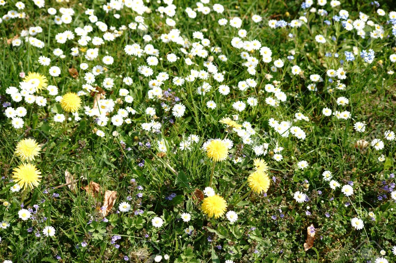 A wild meadow with different flowers like dandelions and daisies a wild meadow with different flowers like dandelions and daisies stock photo 101737064 izmirmasajfo