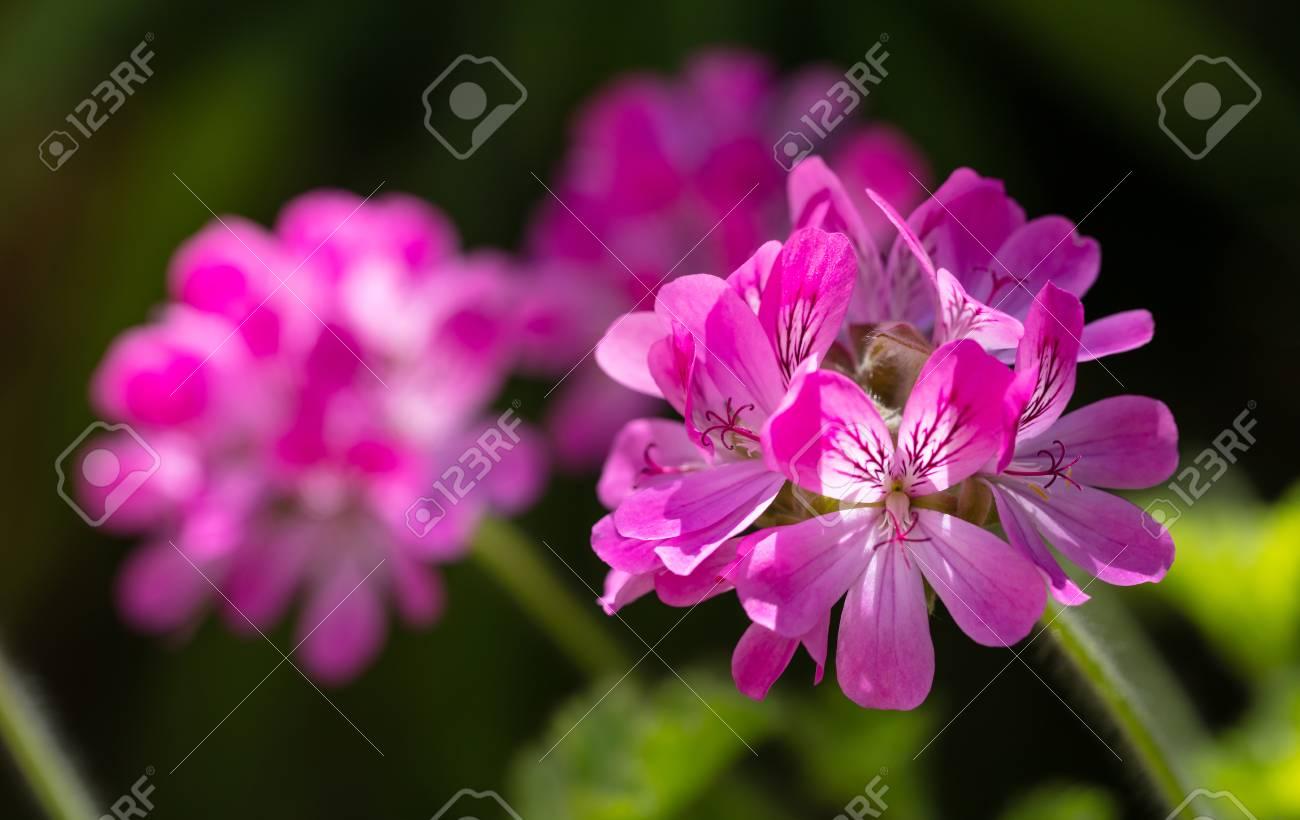 Citronella Geranium Flowers Natural Mosquito Repellent On Dark