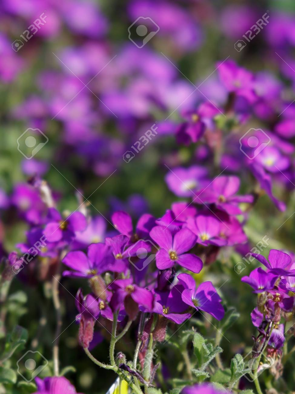 Beautiful Purple Geranium Flowers With Five Petals And White Stock