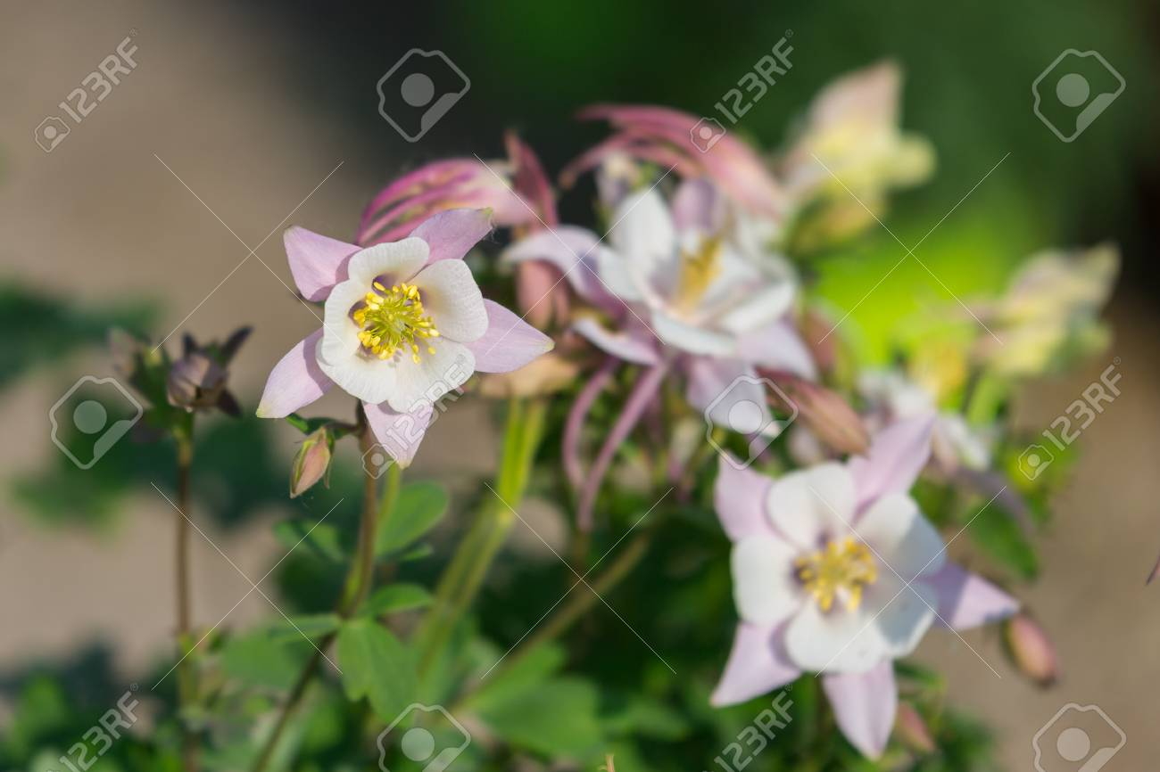 Beautiful White Flowers With Four Petals In A Garden Stock Photo