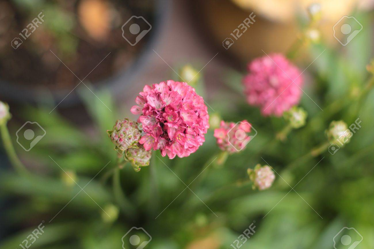 Close Up Of Small Round Pink Flower