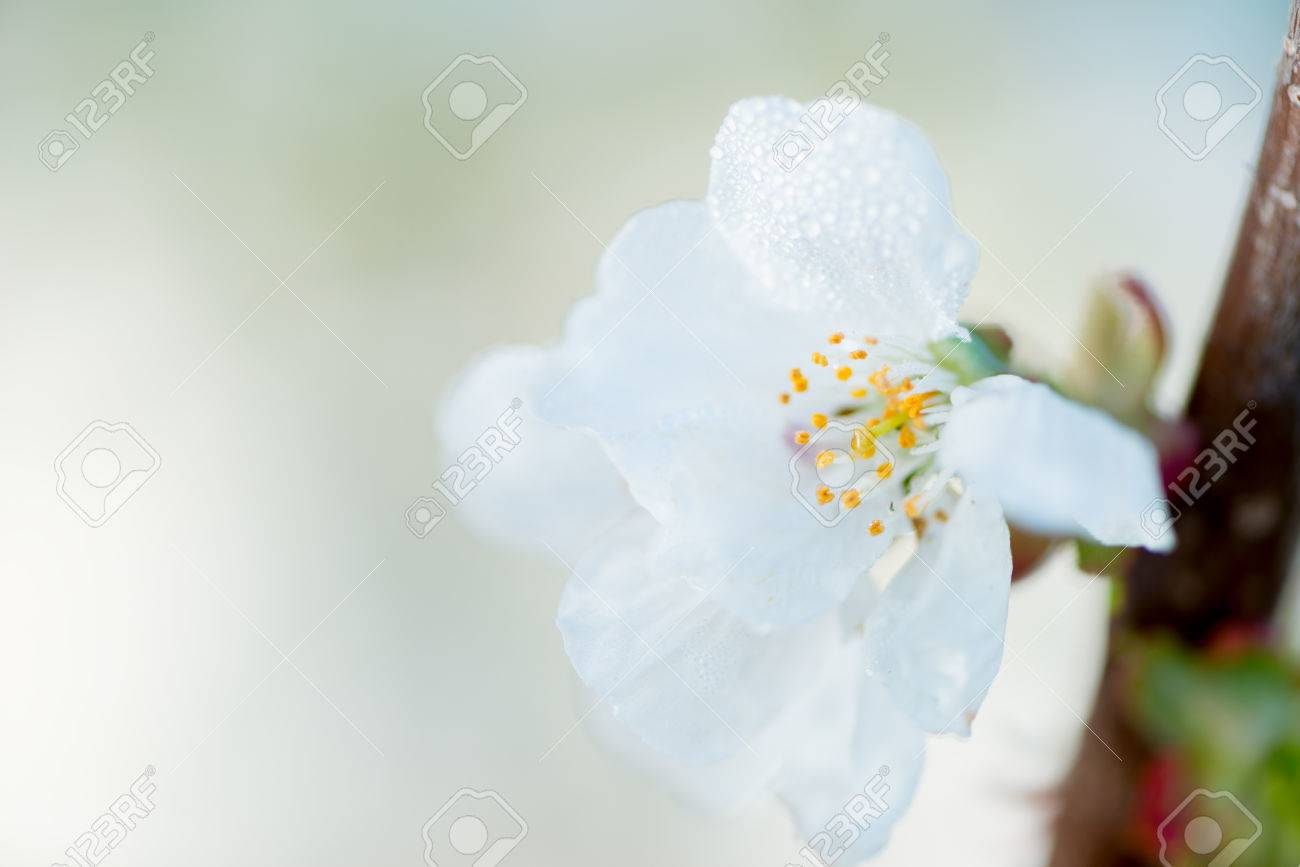 First Flowers Of A Cherry Tree In Spring Stock Photo Picture And
