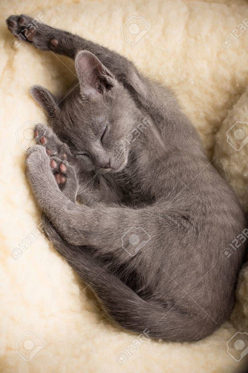 Kitten sleeping, russian blue cat Stock Photo - 18504826