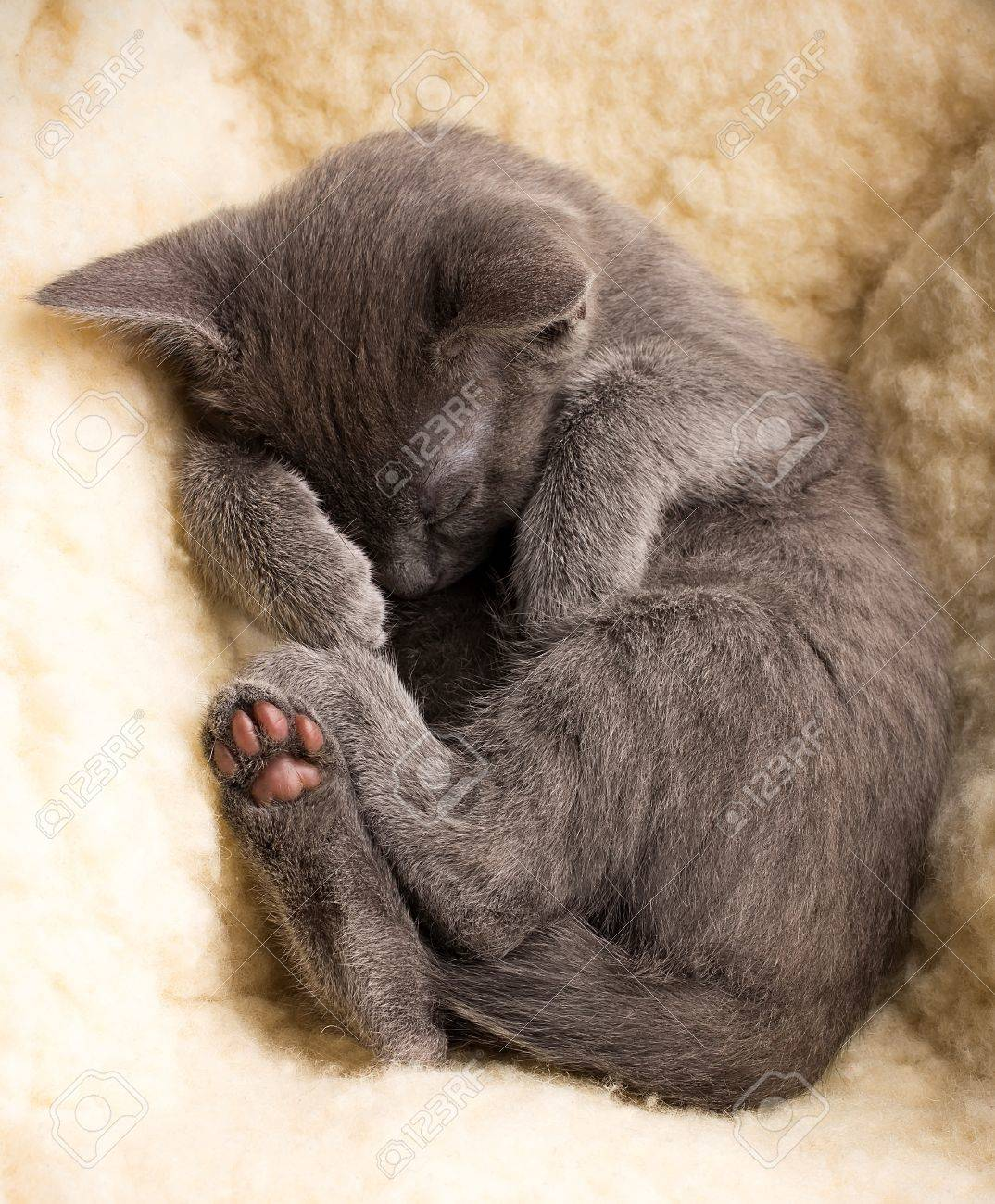 Kitten Sleeping Russian Blue Cat Stock Picture And