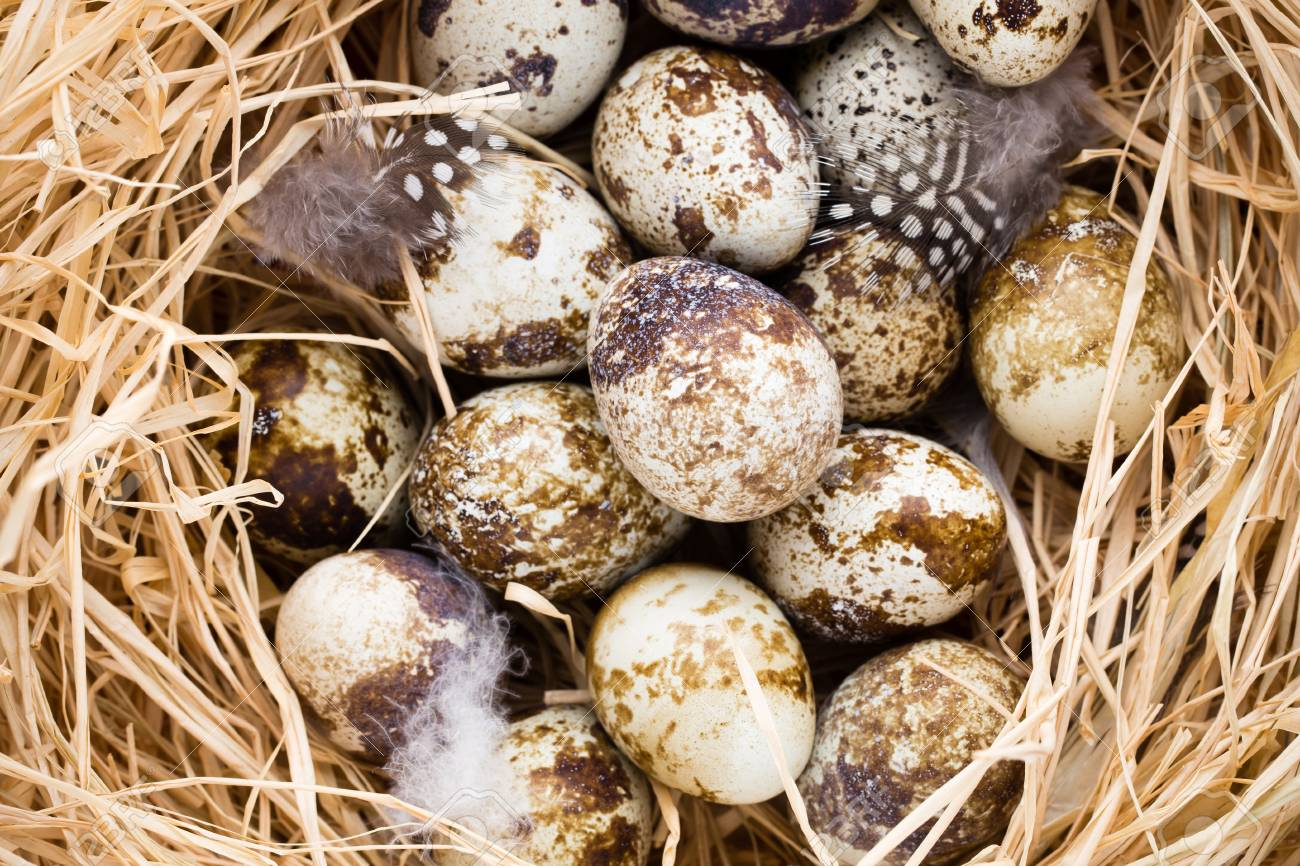 Quail eggs in the nest, a symbol of spring. - 85073636