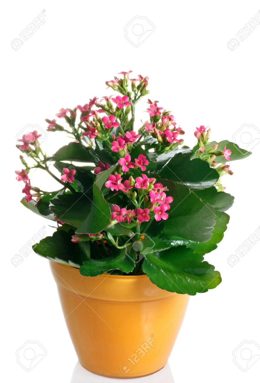 closeup kalanchoe flowering plant in pot on a white background on kalanchoe blossfeldiana care, kalanchoe care indoors, kalanchoe flower,
