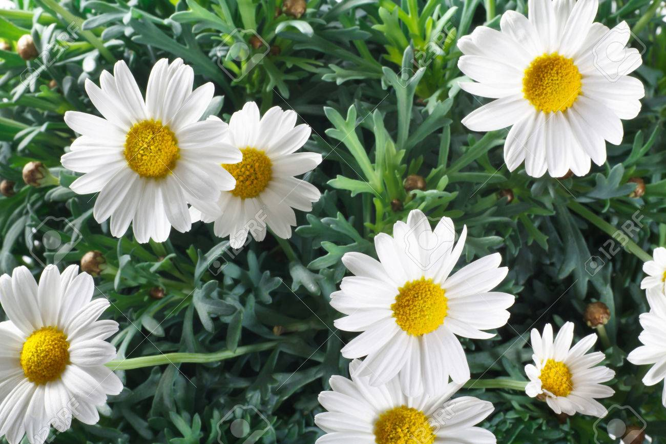 Closeup Of Daisy Flowers And Leaves Stock Photo Picture And Royalty
