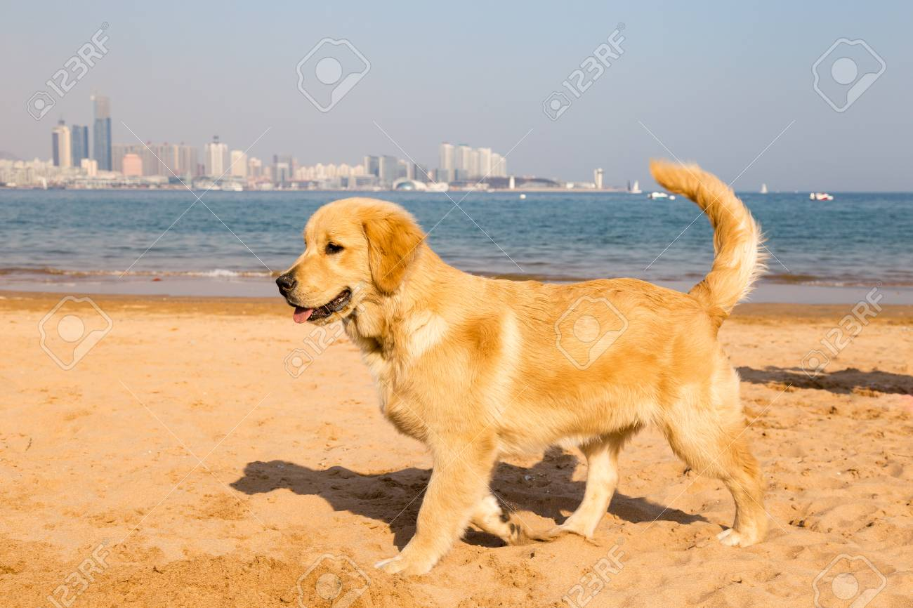 Golden Retriever Puppy On The Golden Sands Of Qingdao Bathing Stock Photo Picture And Royalty Free Image Image 83755513