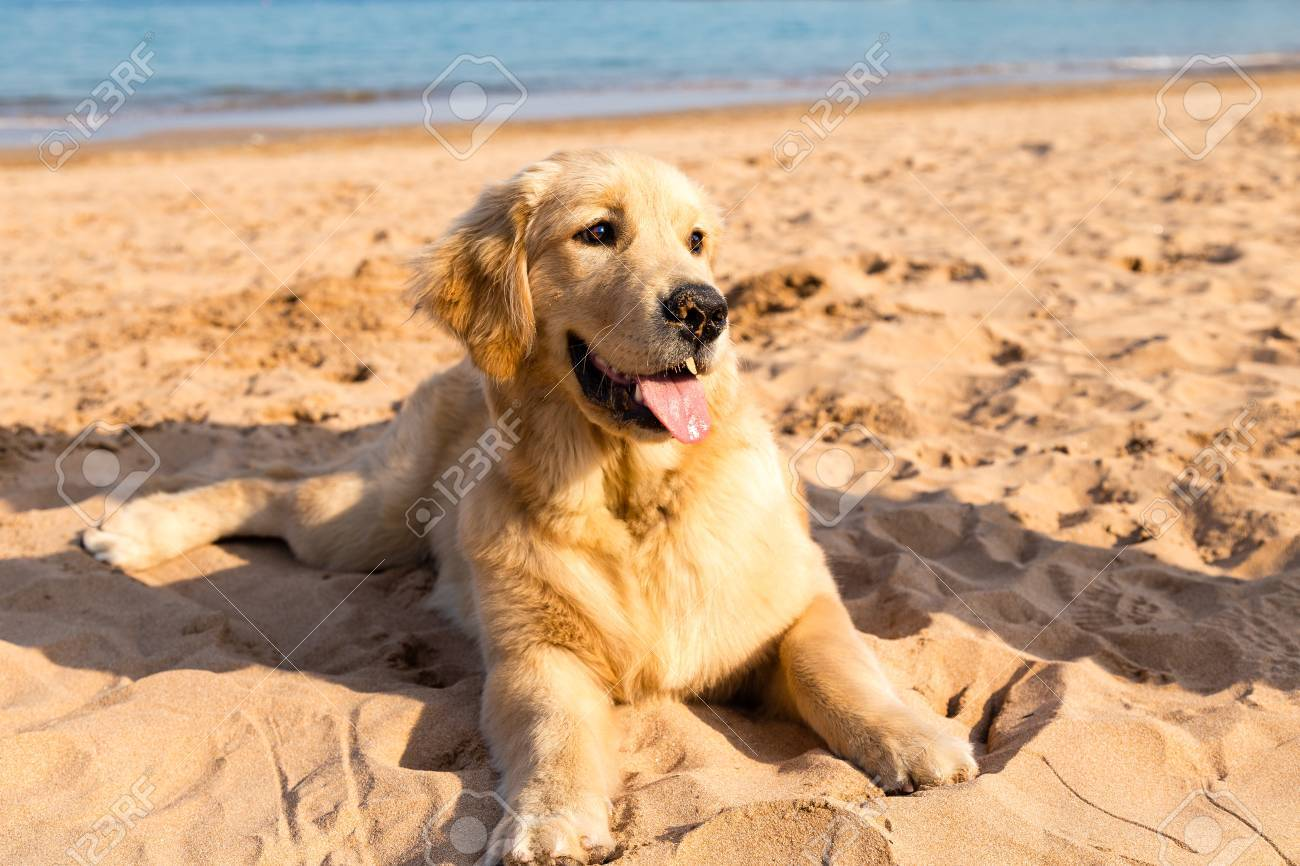 Golden Retriever Puppy Lying On The Golden Sands Of Qingdao Bathing Stock Photo Picture And Royalty Free Image Image 83755514
