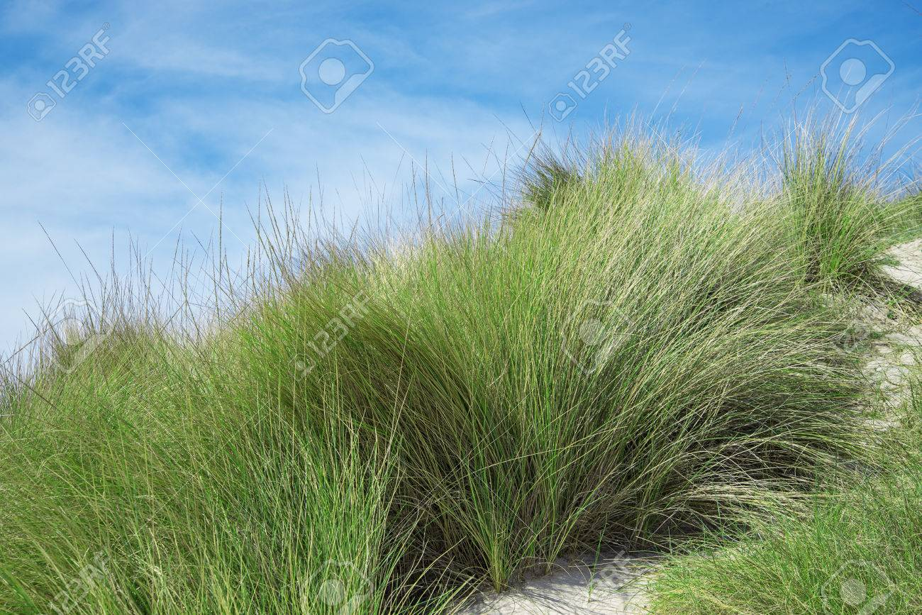 Bushes Of Grass On The Beach Stock Photo Picture And Royalty Free