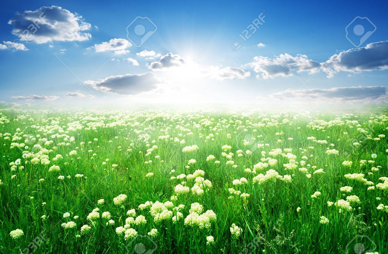 Field of white flowers and green grass in spring stock photo field of white flowers and green grass in spring stock photo 35167497 mightylinksfo