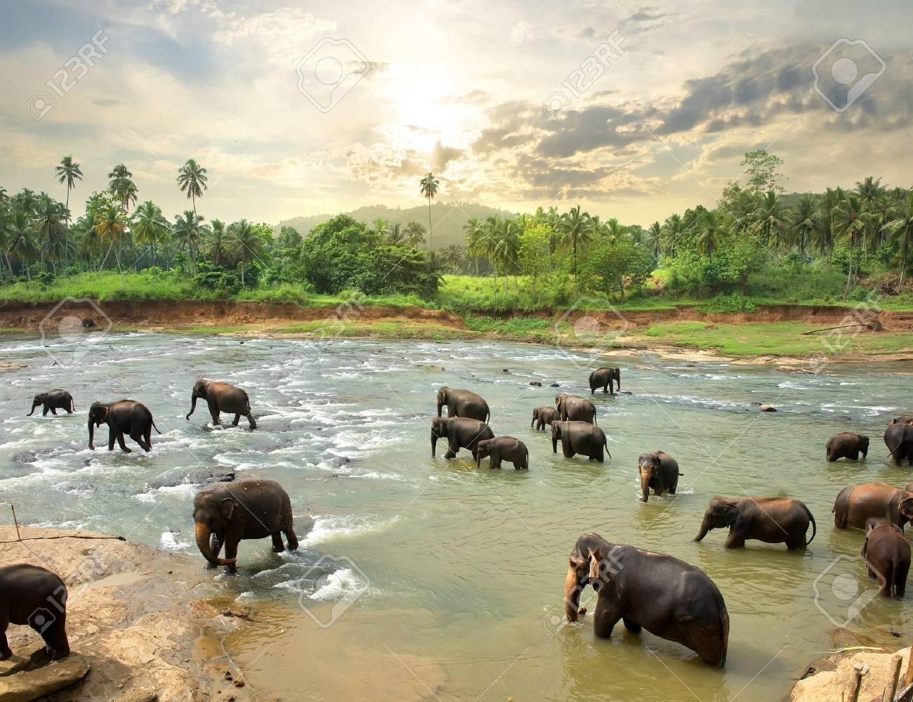 Elephants in water of jungle river, Sri Lanka - 55484207