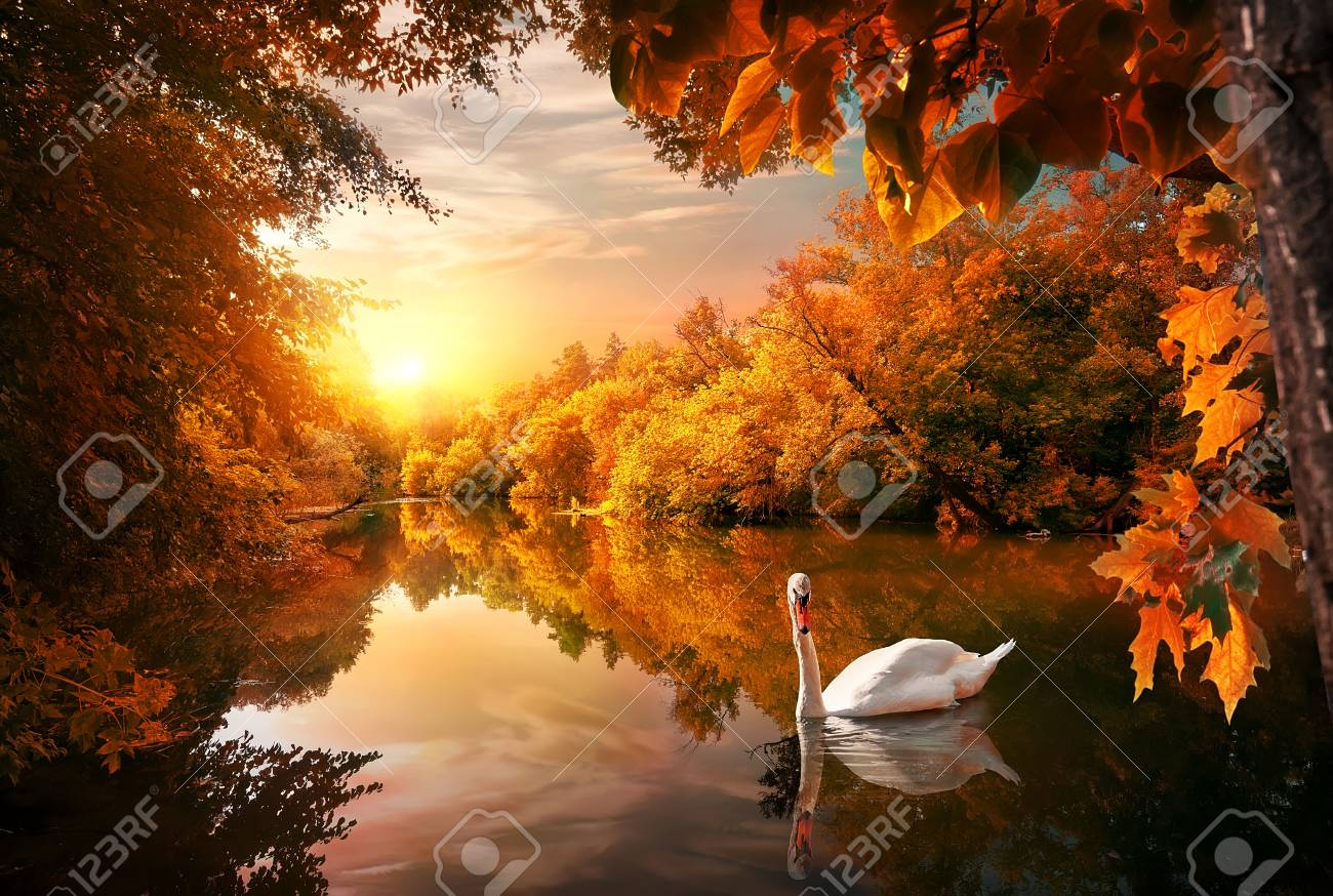 White swan on autumn pond in forest at sunrise - 109698560