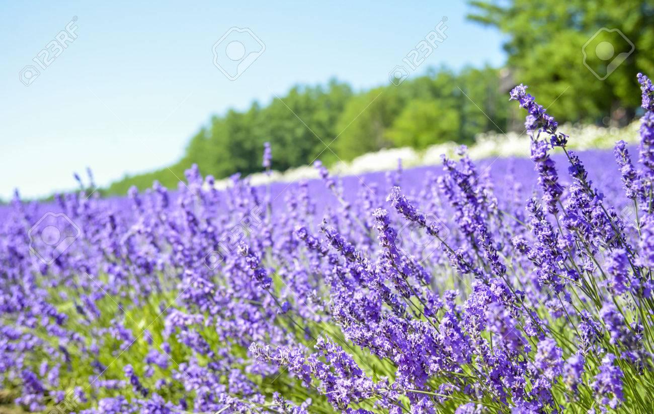 Champ de lavande avec le ciel bleu Banque d'images - 22297579