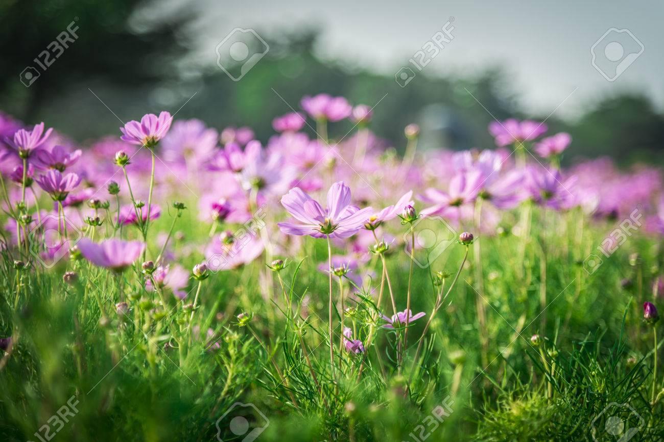 Cosmos fleur pourpre dans le garden1 Banque d'images - 24595195