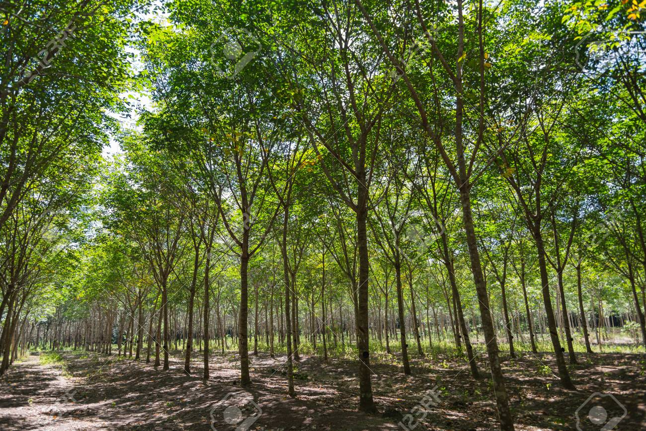 Rubber trees in the row for rubber tree farm in Thailand