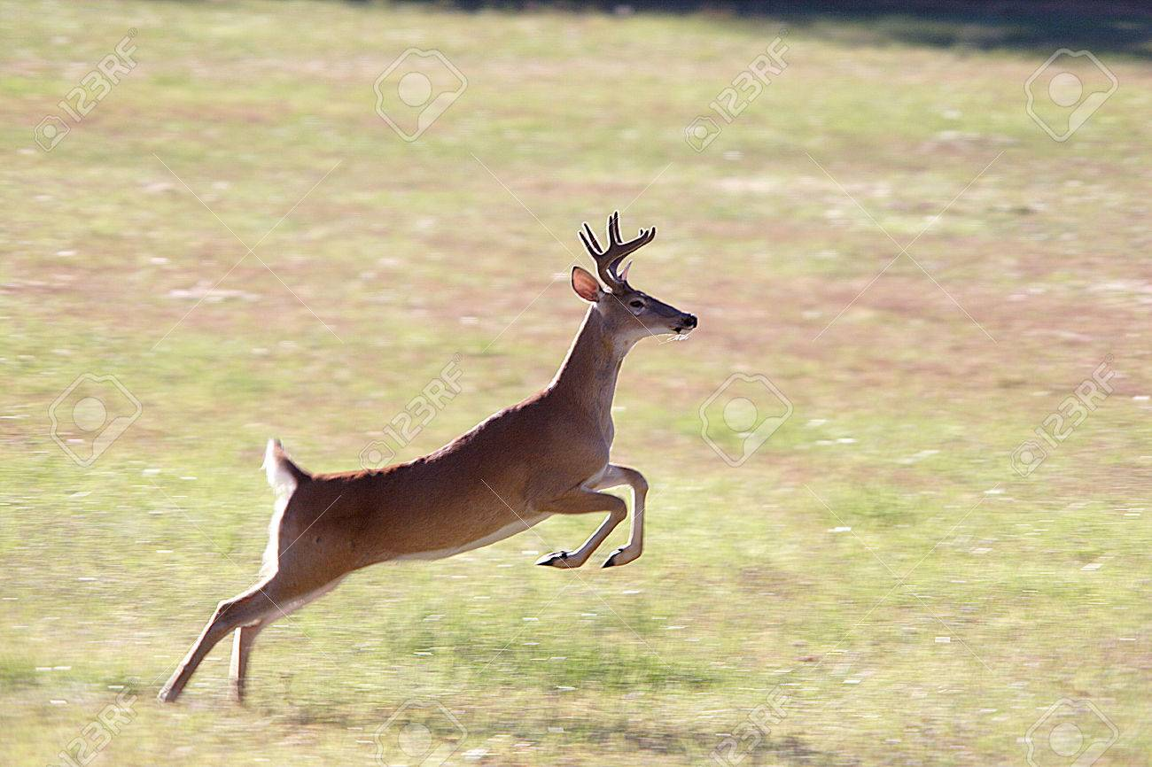 http://previews.123rf.com/images/gjohnstonphoto/gjohnstonphoto0708/gjohnstonphoto070800006/1557323-A-whitetail-deer-leaps-through-the-air--Stock-Photo-deer-run-white.jpg
