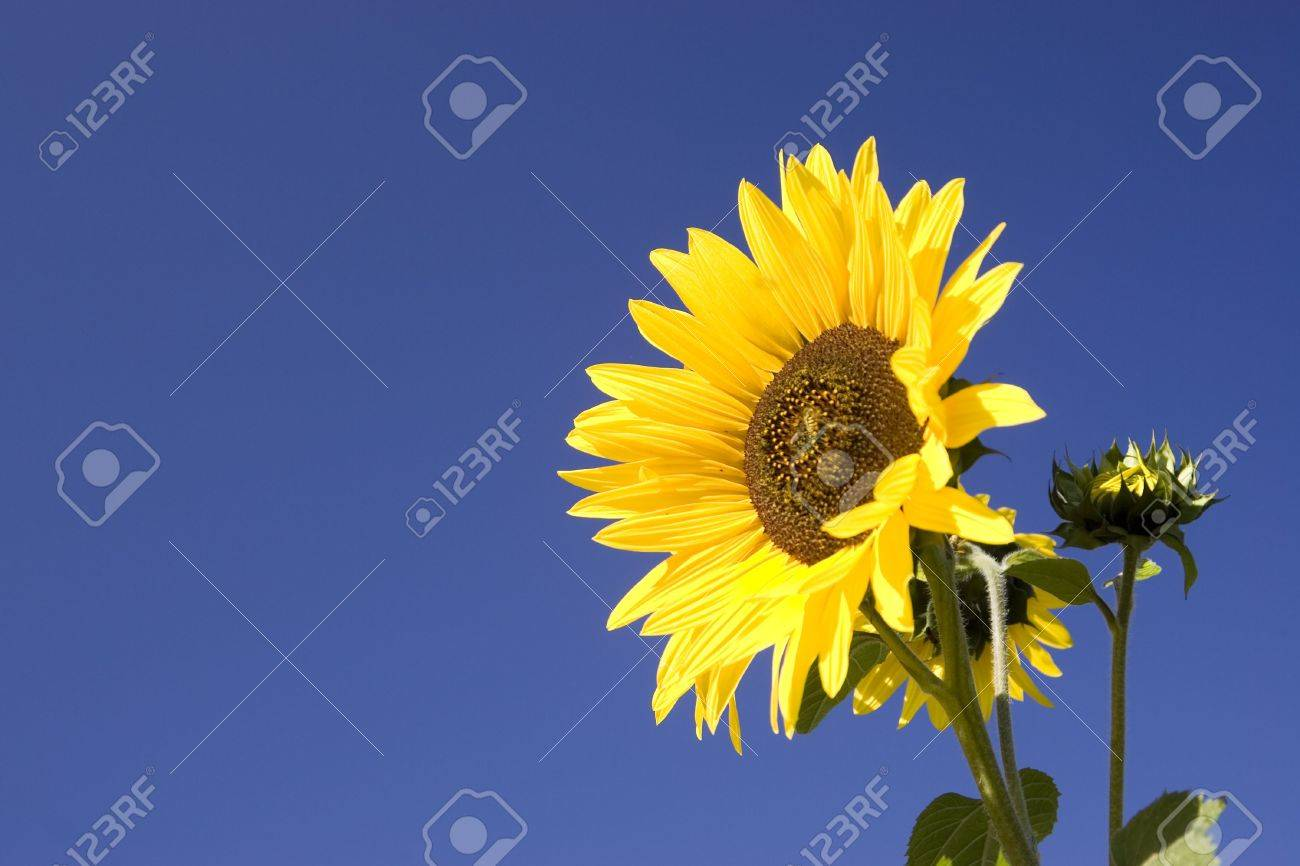 Yellow sunflower against a bright blue sky. - 5607756