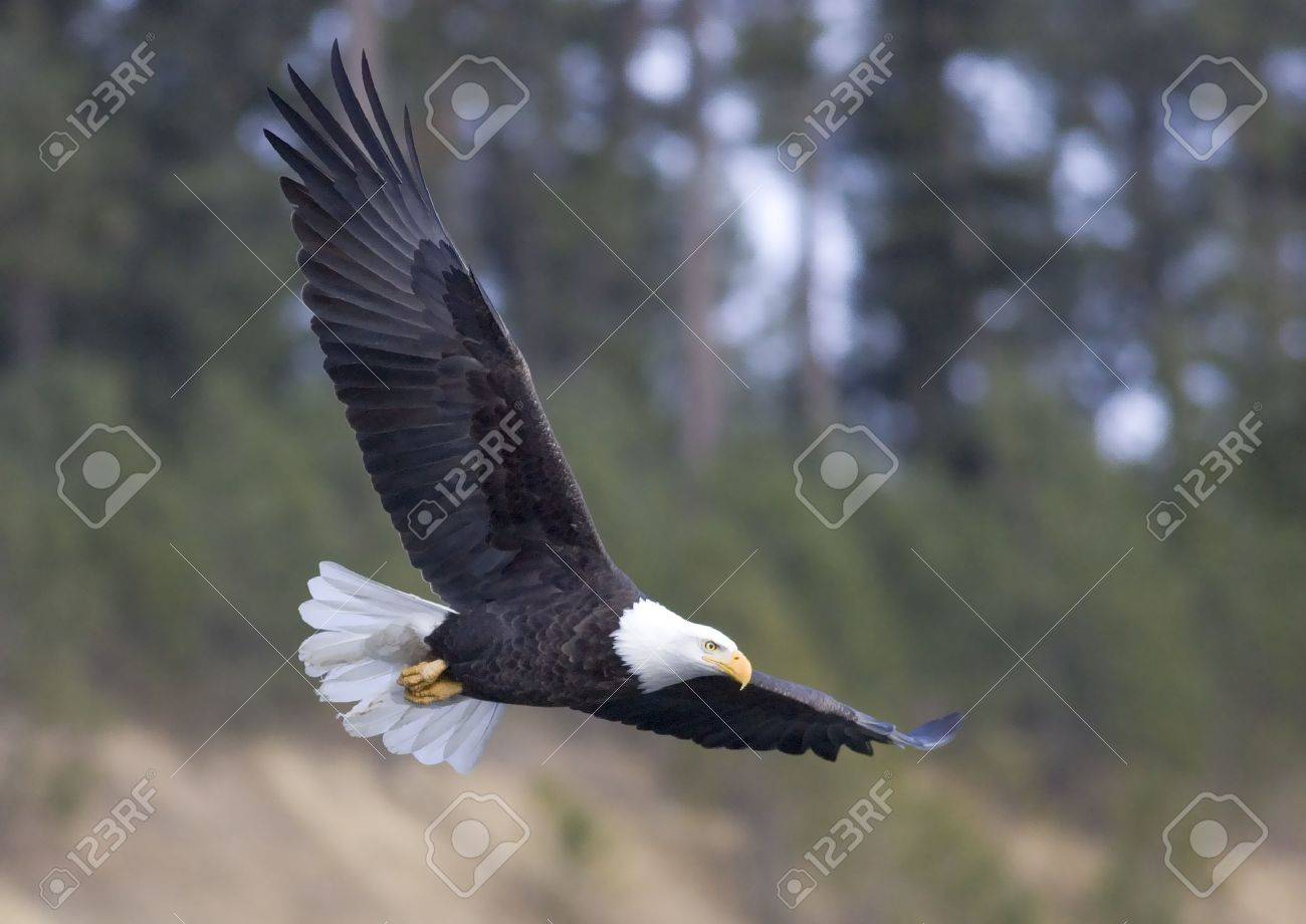 A bald eagle with its large wings in flight. - 6079915