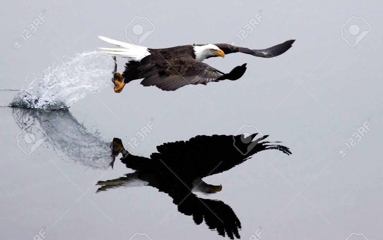 After the swoop, an eagle catches a fish and takes off leaving a trail of splashing water. - 6171829