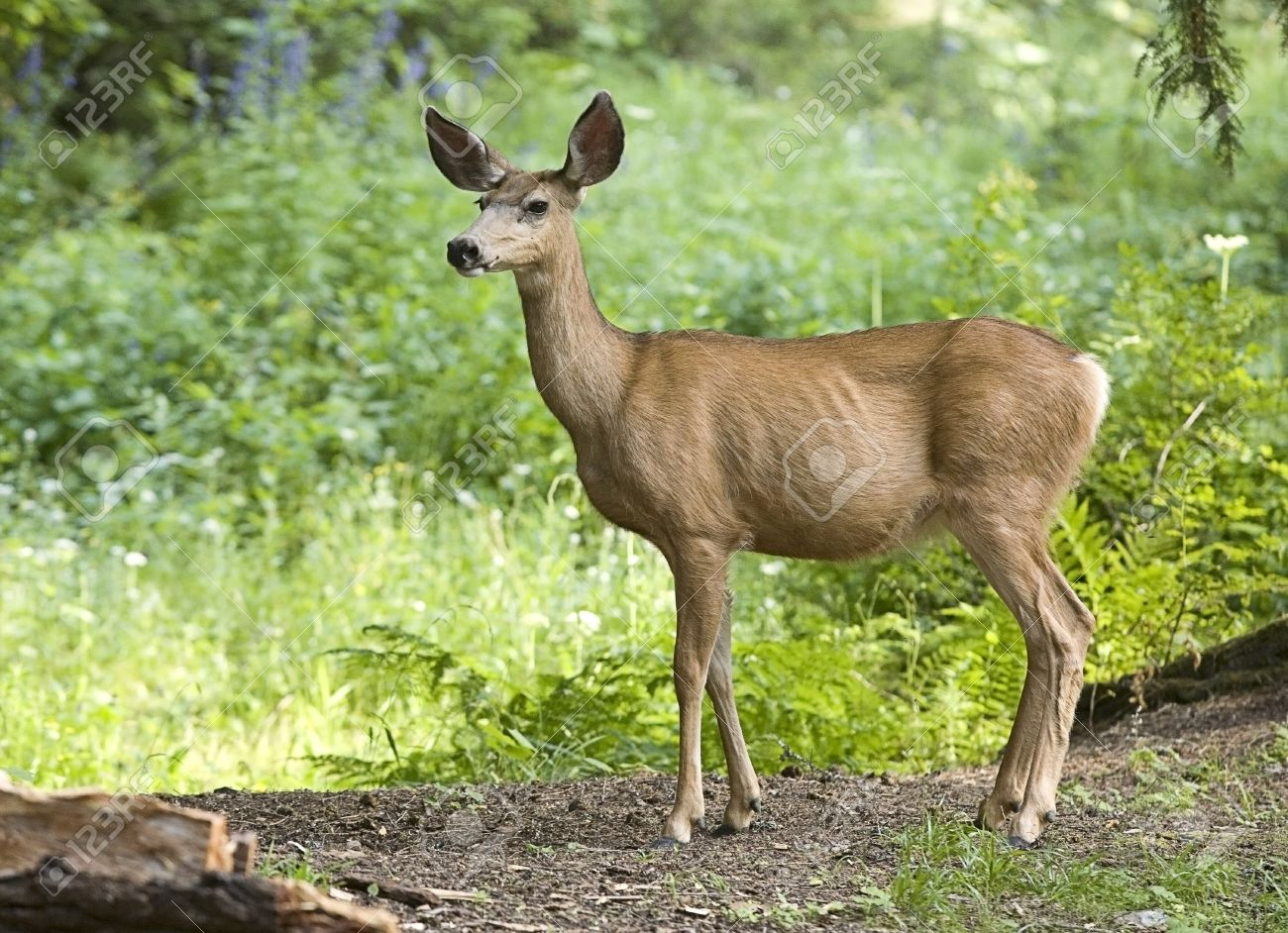 A side view of a whitetail deer in the forest. - 7542746