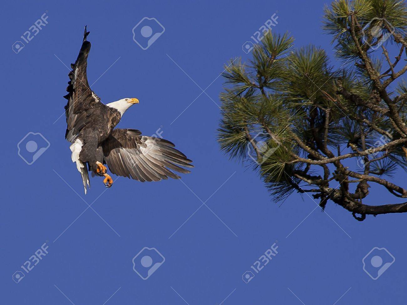 An American bald eagle prepares to land in a tree. - 8478972