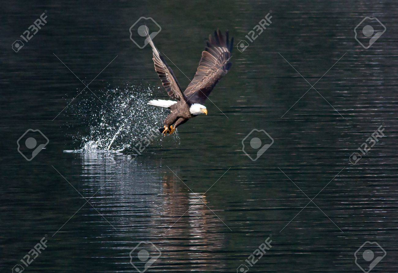 Eagle catches fish then flies off. - 11827307