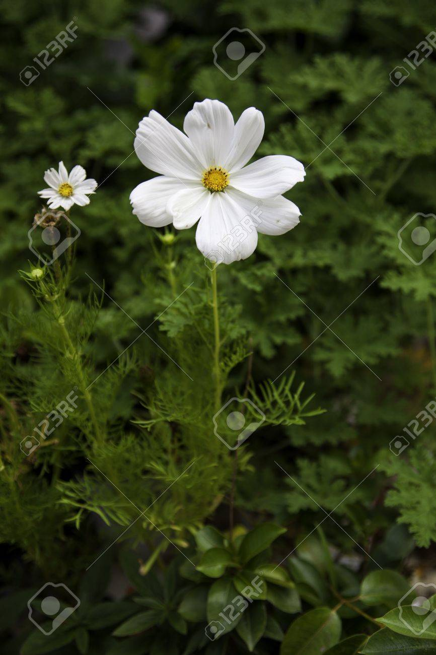 A Small White Wild Flower With A Small Yellow Center Stock Photo